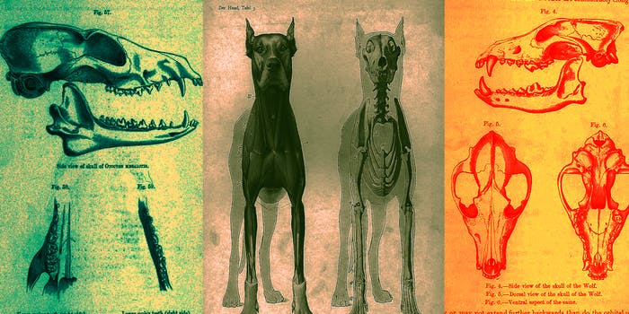 Anatomical study of dogs vs wolves
