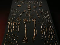 These 'Homo naledi' bones were recovered from a cave in South Africa.
