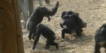 chimp fight
