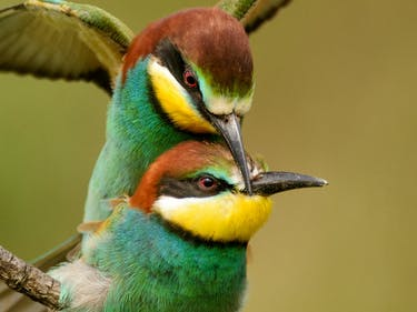 bee eater birds mating