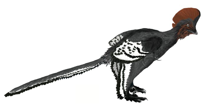 An illustration of Anchiornis, a small, feathered dinosaur.