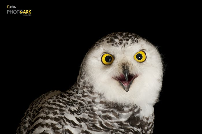 snowy owl the photo ark