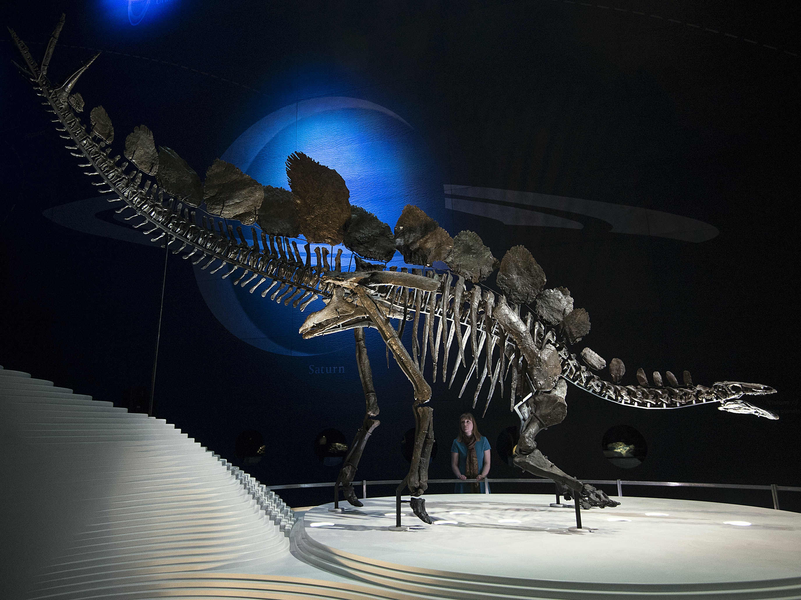 LONDON, ENGLAND - DECEMBER 03:  A view of the world's most complete Stegosaurus fossil as it is unveiled at a press preview at the Natural History Museum on December 3, 2014 in London, England. The skeleton is 560 centimetres long, 290 centimetres tall, has over 300 bones and is the first complete dinosaur specimen to go on display at the Natural History Museum in nearly 100 years. (Photo by Carl Court/Getty Images)