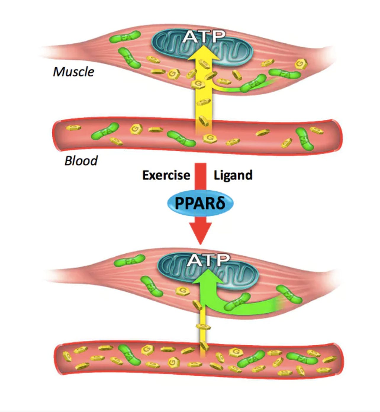 PPARd glucose and fatty acids