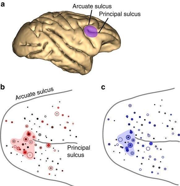 macaque brain cortex prefrontal PFC sulcus frontal lobe cortex