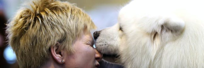 BIRMINGHAM, ENGLAND - MARCH 10:  Tracey Elder from Fyfe is given a lick on her face by her Samoyed Bolan dog during the final day at Crufts Dog Show on March 10, 2013 in Birmingham, England. During this year's four-day competition over 22,000 dogs and their owners will vie for a variety of accolades but ultimately seeking the coveted 'Best In Show'.  (Photo by Rosie Hallam/Getty Images)