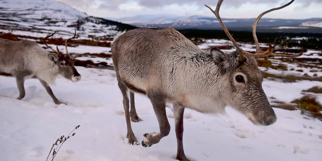 Climate change is causing reindeer to get smaller.