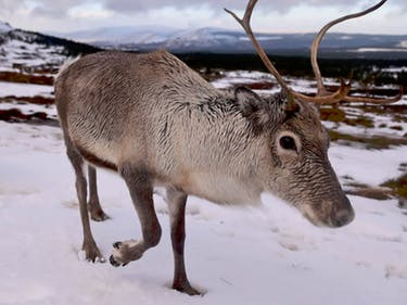 Climate Change Shrunk Reindeer, So Santa Has to Rethink His Plan