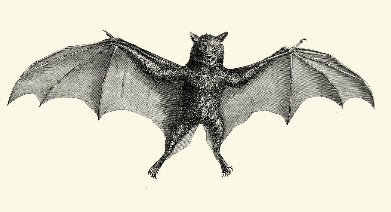 Bulldog bat illustration (vintage)