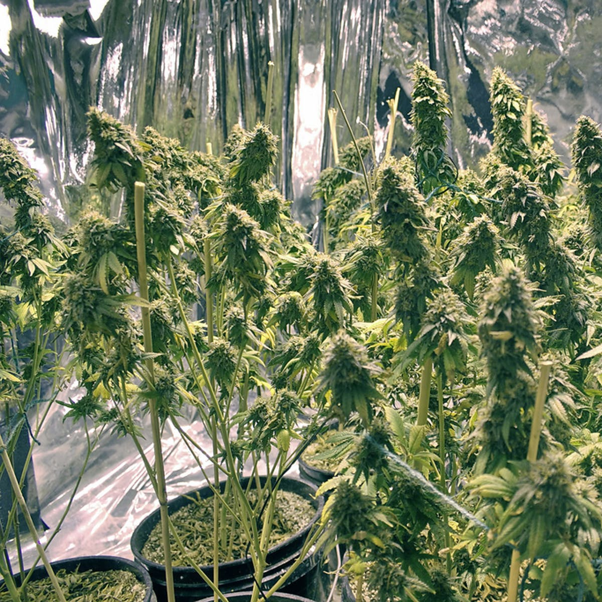 Science Explains Just How Long Weed Stays in Your Hair | Inverse