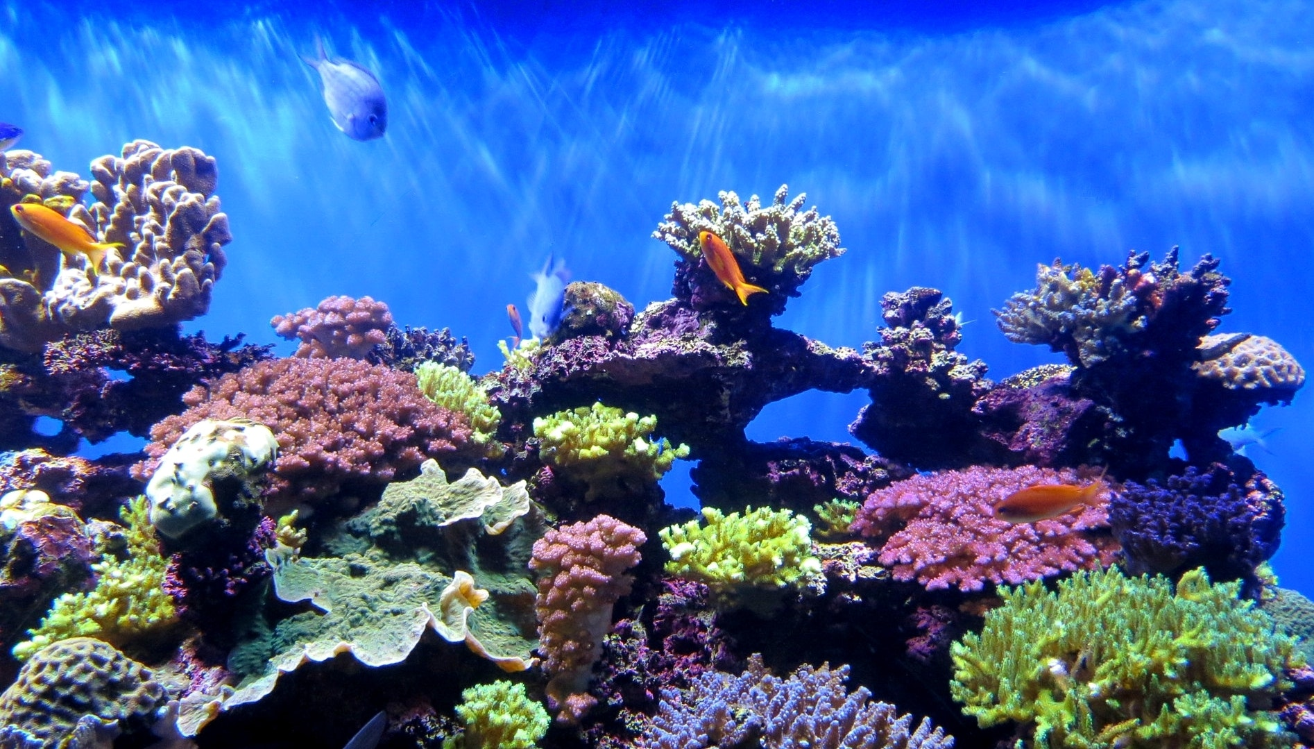 coral reefs are brighter and more beautiful because they re dying rh inverse com