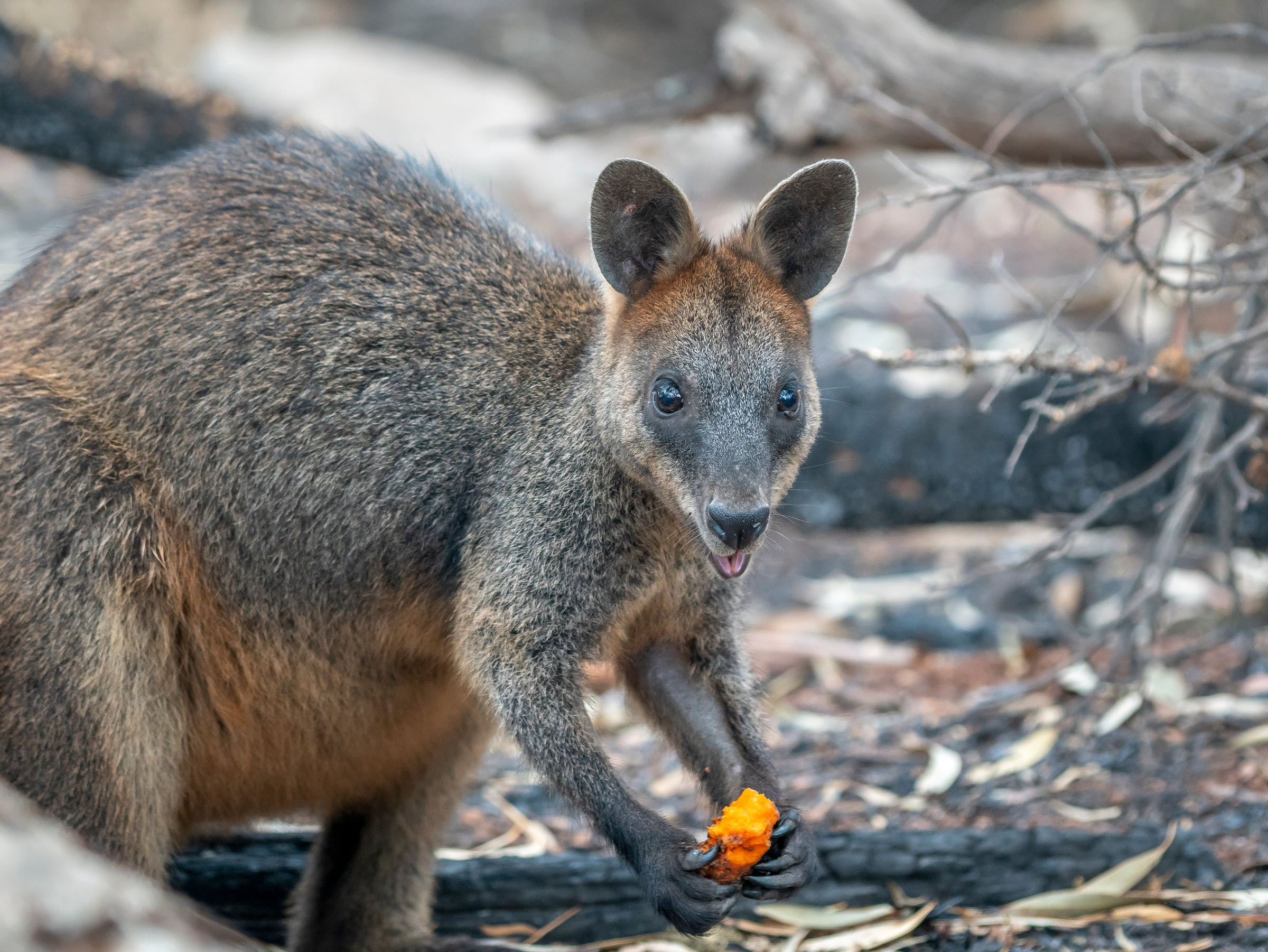 wallaby with carrot