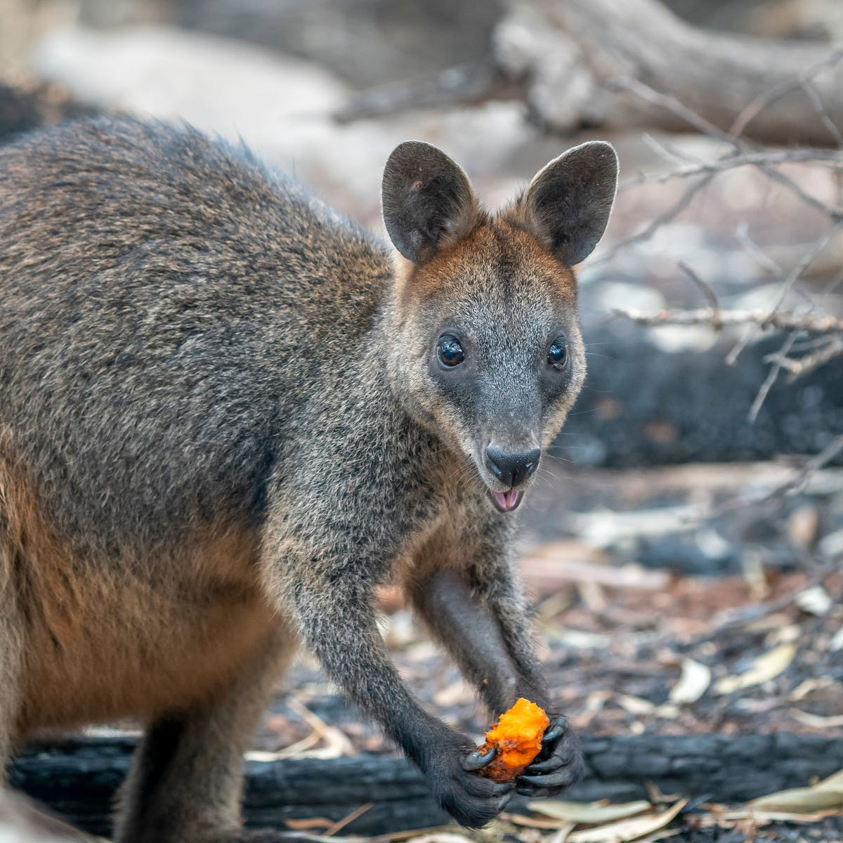 """Operation Rock Wallaby: Carrot """"bombs"""" could save Australia's bush animals"""
