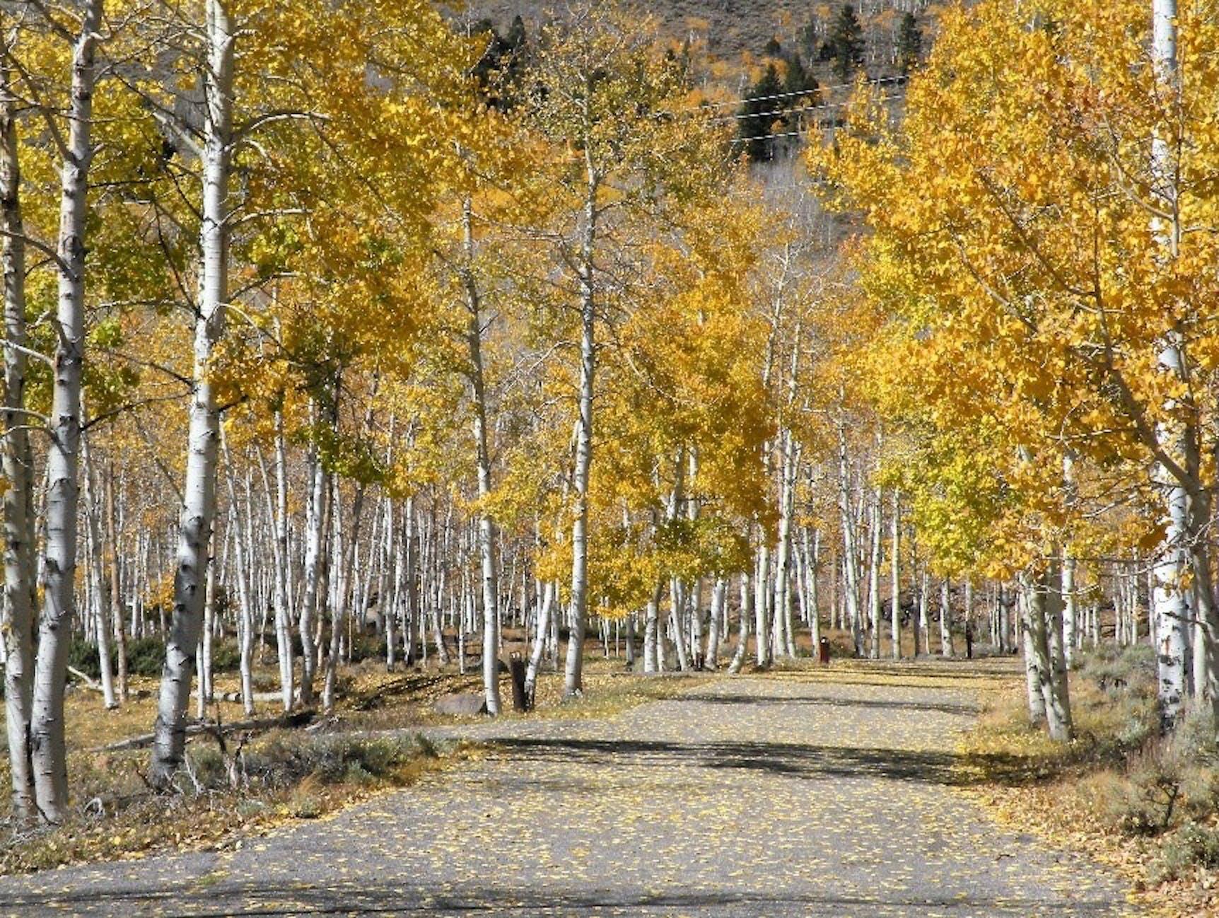 Pando Grove in fall foliage at Dr. Creek Campground, Utah.