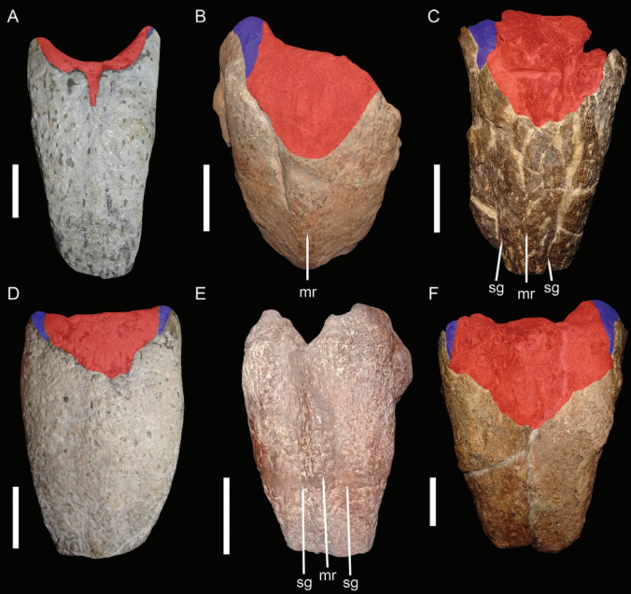 dicynodont fossils