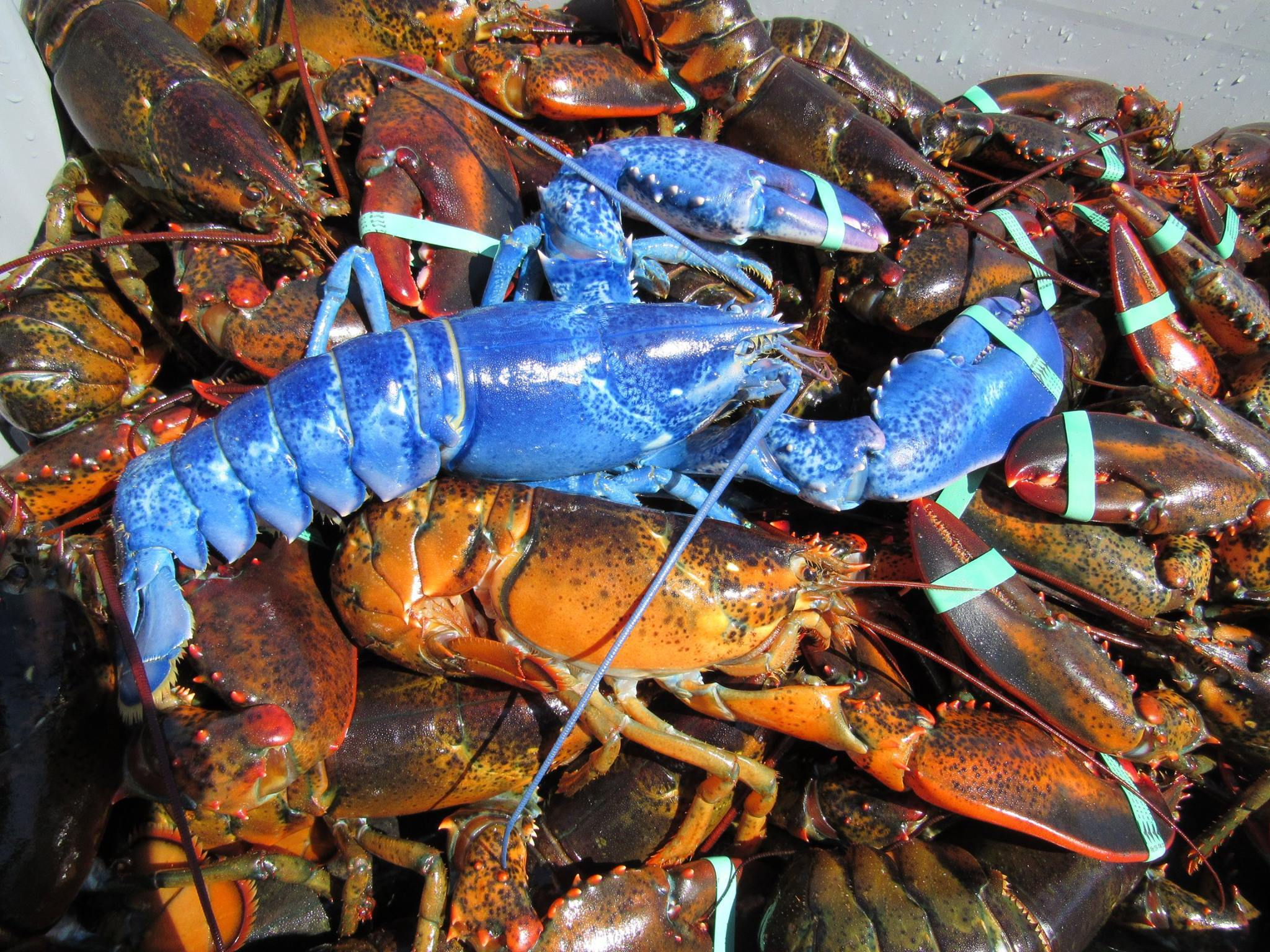 This lobster is so blue, it actually just looks like a cartoon come to life.