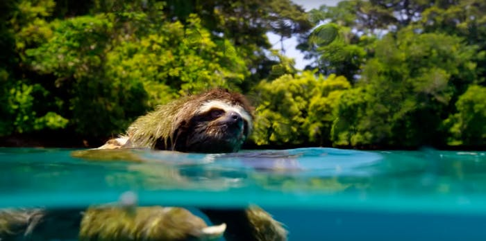 swimming sloth