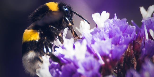 Bumblebees may be susceptible to diseases carried by managed hives of honeybees.