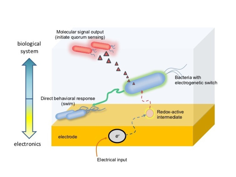Bacteria are engineered to respond to a redox molecule activated by an electrode by creating an electrogenetic switch.