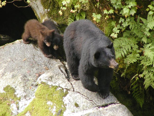 Black bear sow with her two cubs