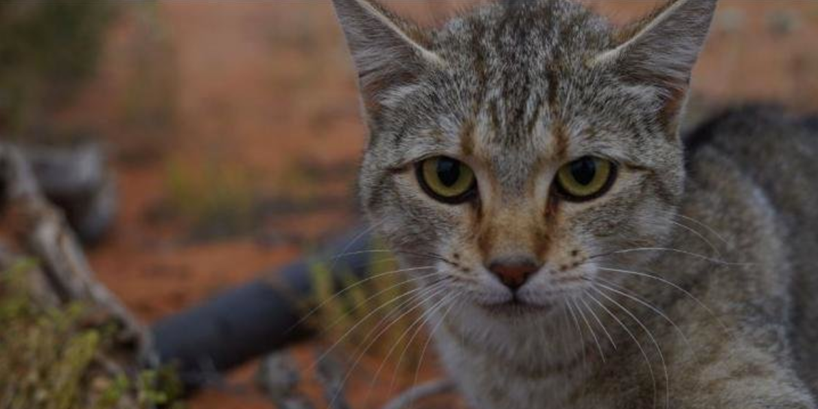 The number of feral cats in Australia are rising.