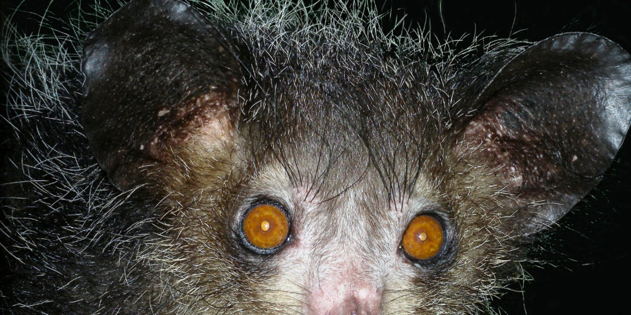 Find Halloween Inspiration With These Six Creepy Animals Inverse How To Build Nocturnal Whisker Forget Zombies And Go As A Aye Lemur