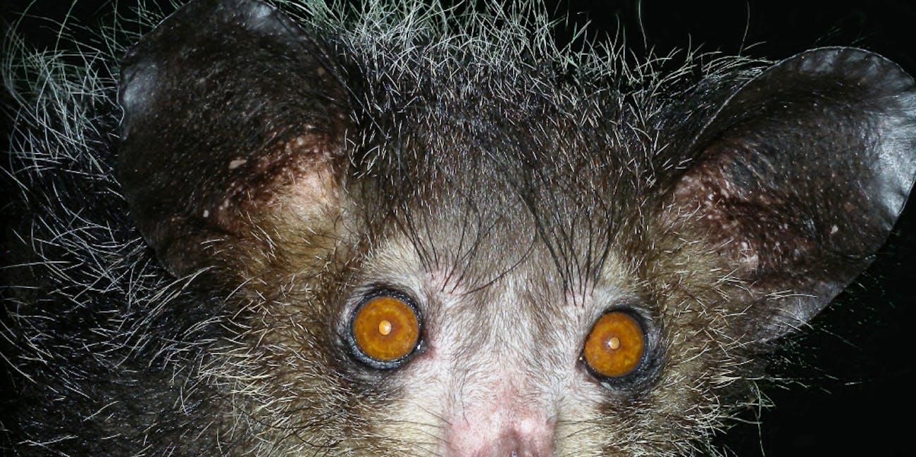 An aye-aye lemur.