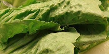 starr-070730-7908-Lactuca_sativa-Romaine_variety-Foodland_Pukalani-Maui