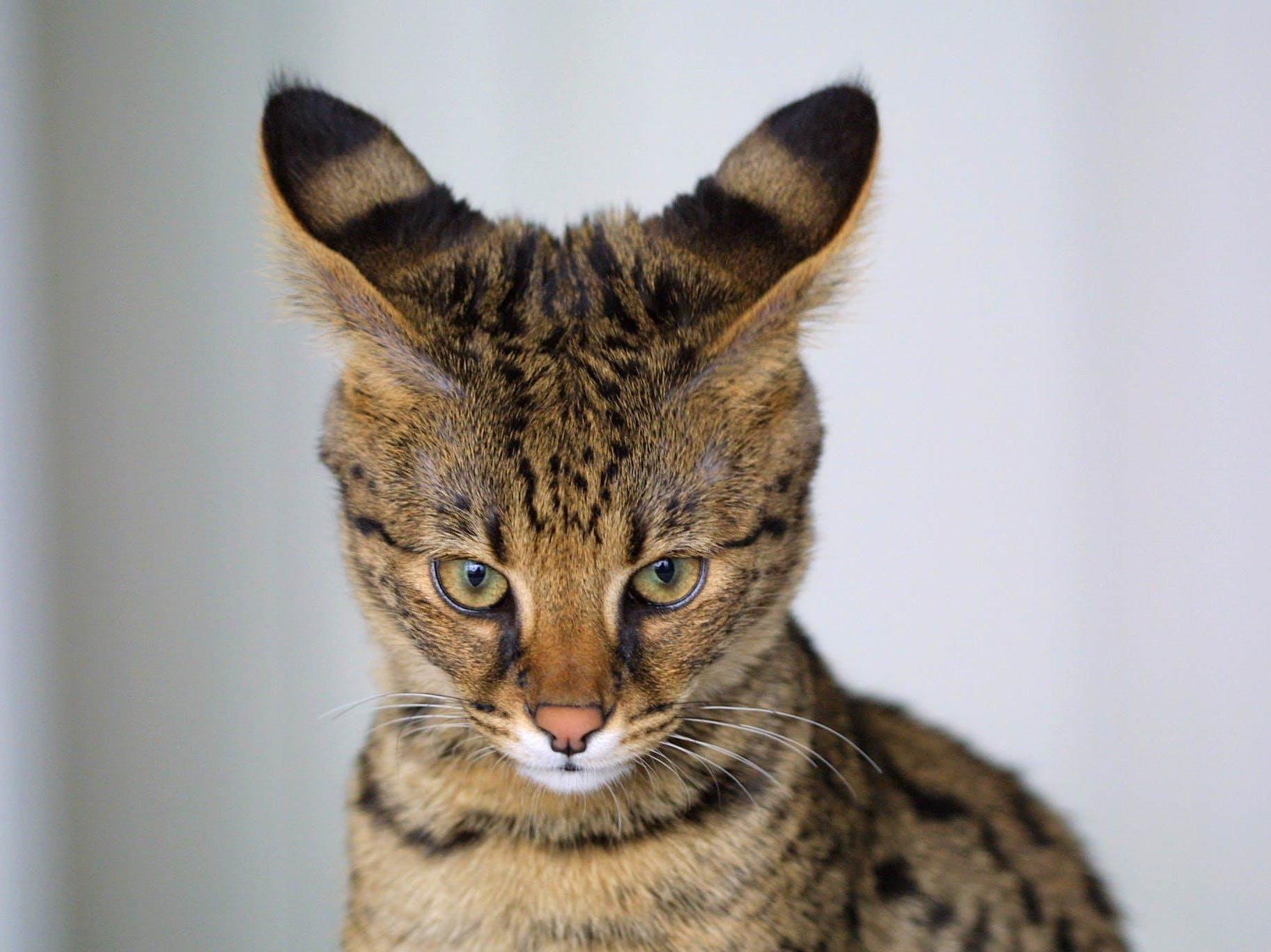 These three trends will shape the bizarre future of cat genetics cat hybrid genetics savannah serval buycottarizona