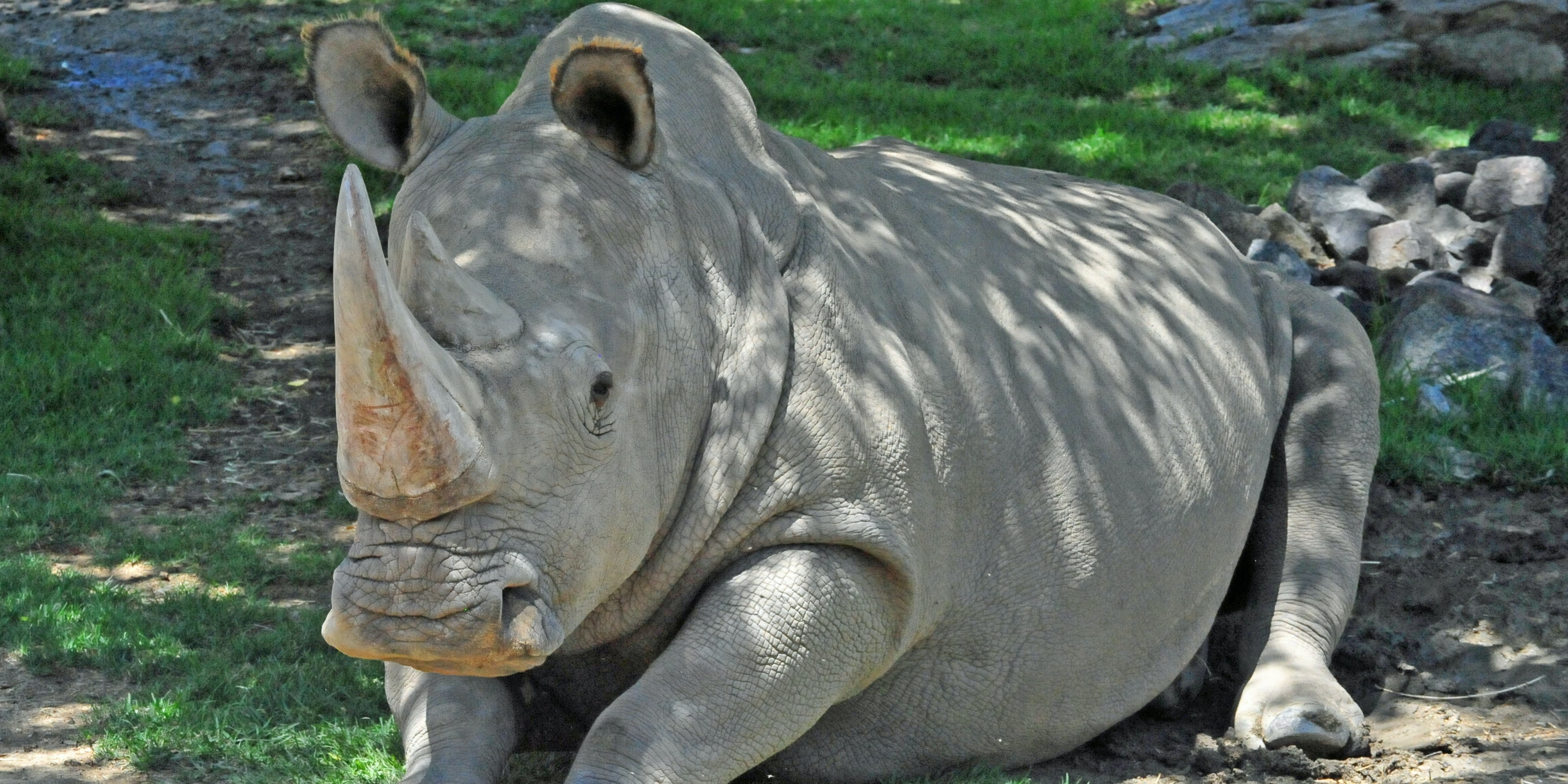 'Test Tube' Northern White Rhinos Could Be the Answer to Saving the Species From Extinction