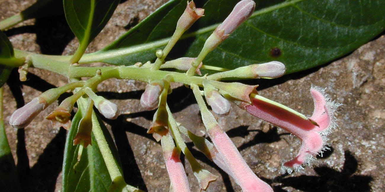 starr-020518-0003-Cinchonacalisaya-flowers-MakawaoForest_Reserve-Maui
