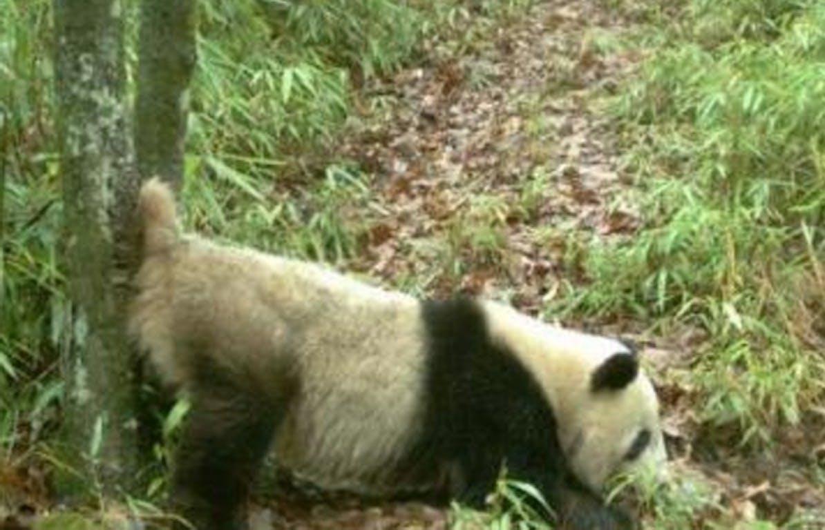 male panda