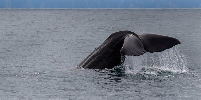 Sperm Whale - Kaikorua - New ZealandFJ0A3401