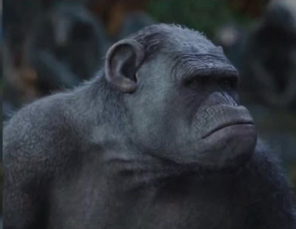 Chimp Expert War For The Planet Of The Apes Nailed Poop Throwing
