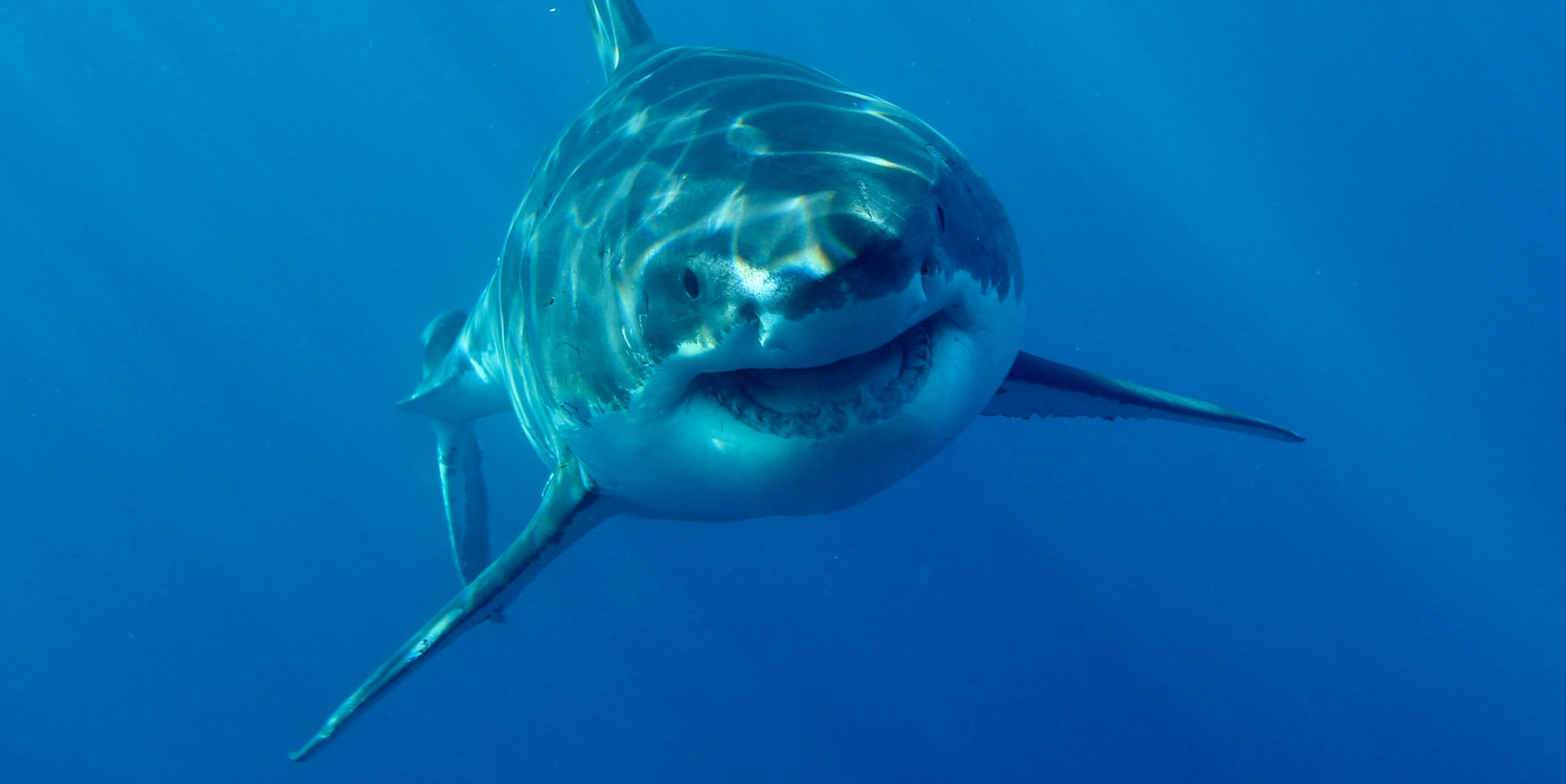 This is a happy Great White Shark