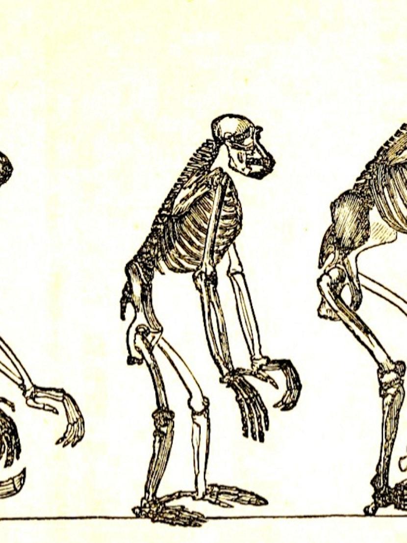 "1863 illustration titled ""Skeletons of the Gibbon."""