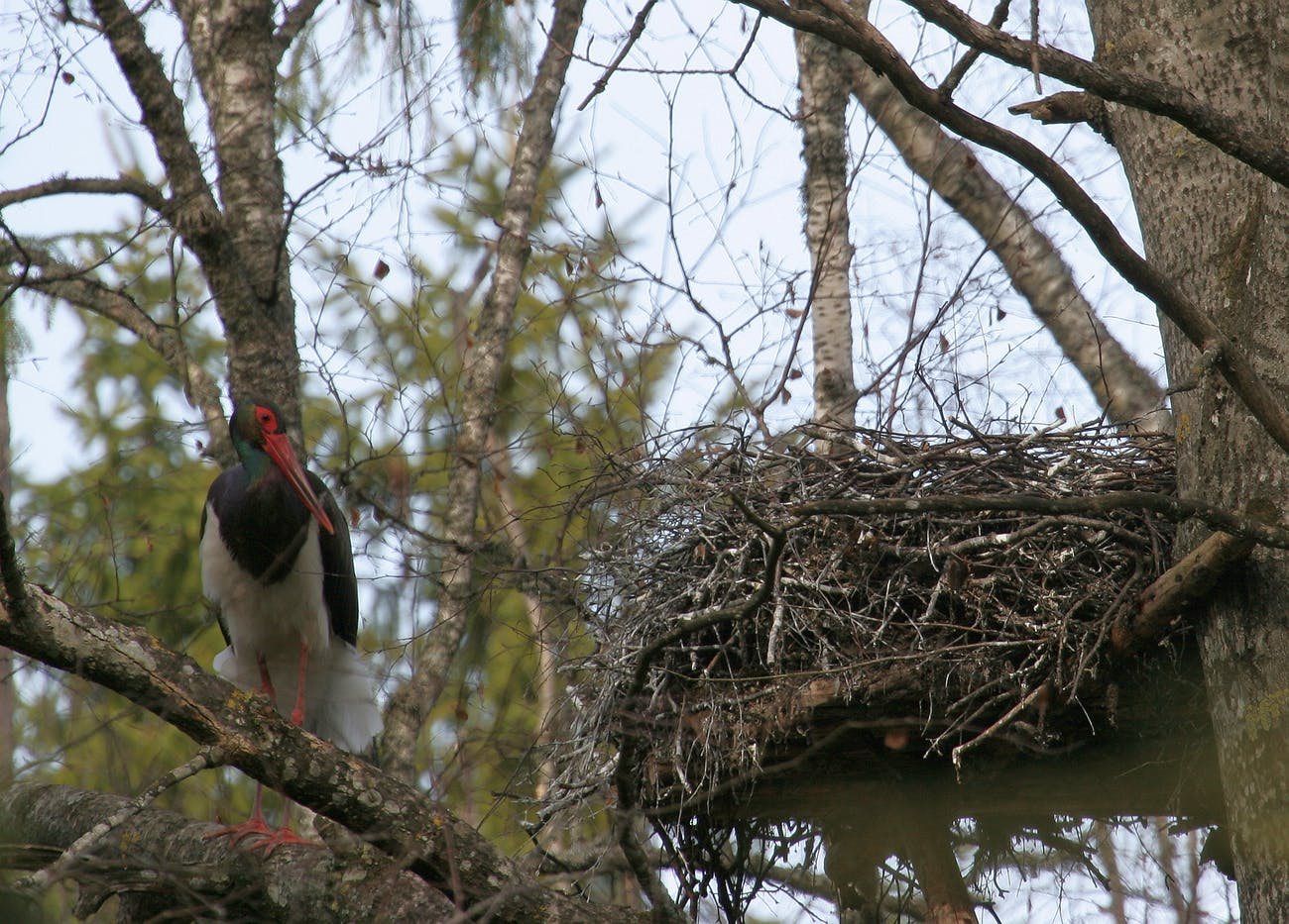 lonely black stork