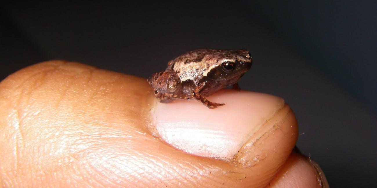 tiny frog mini mum
