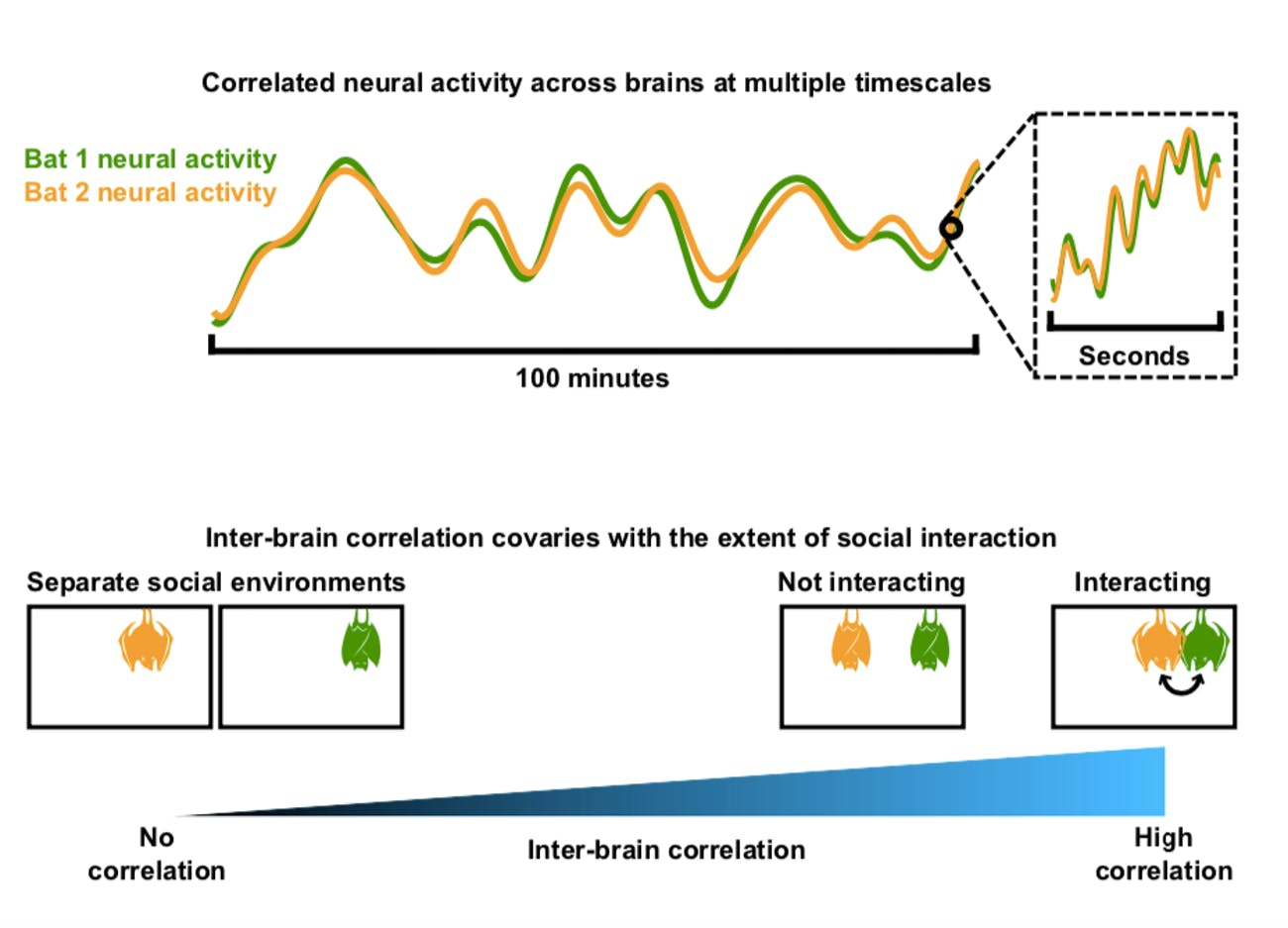 bat neural correlates
