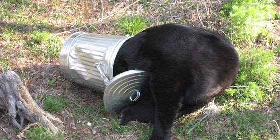 Bear in a trash can.