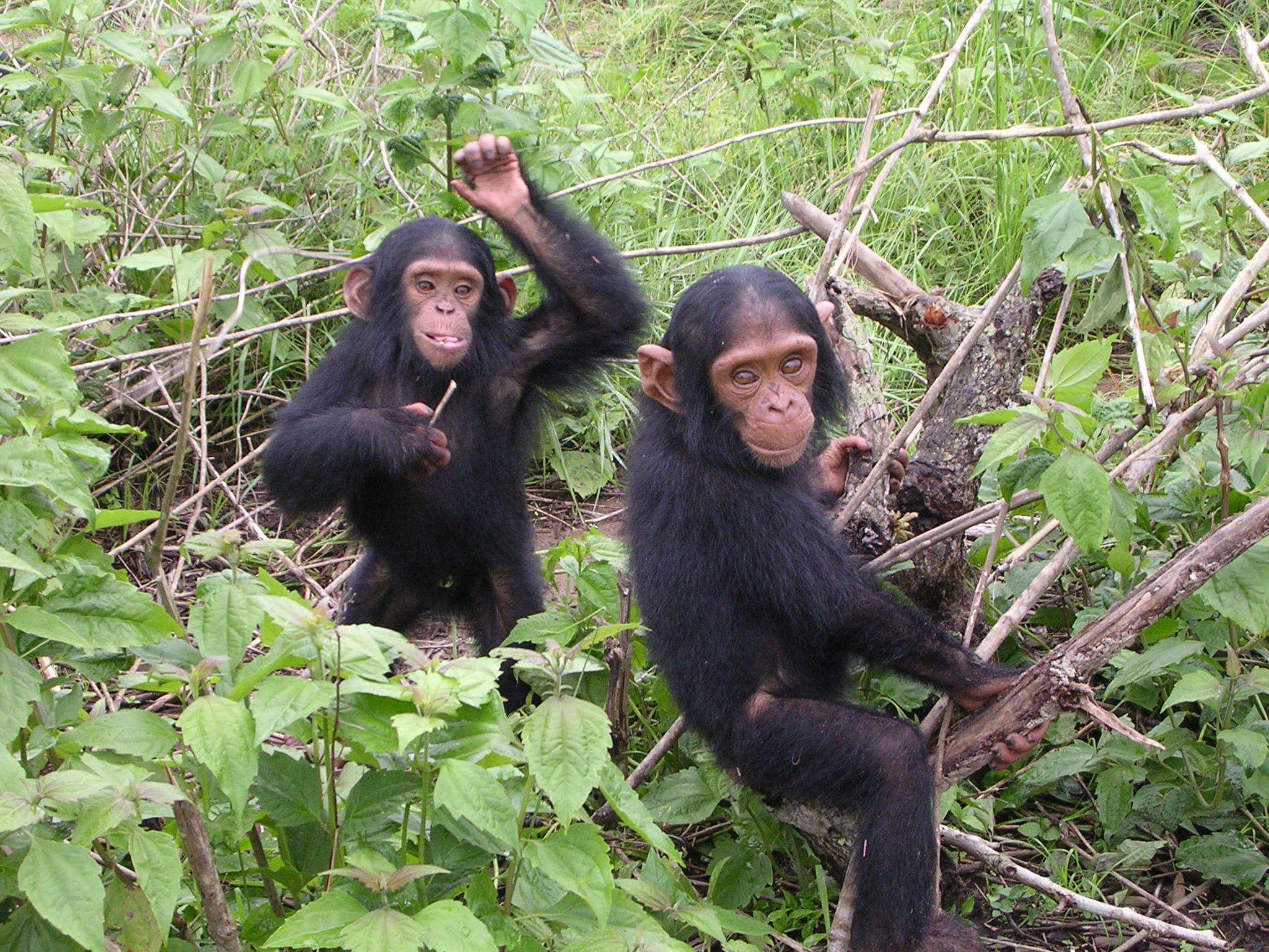 These chimps don't care about your playlist.