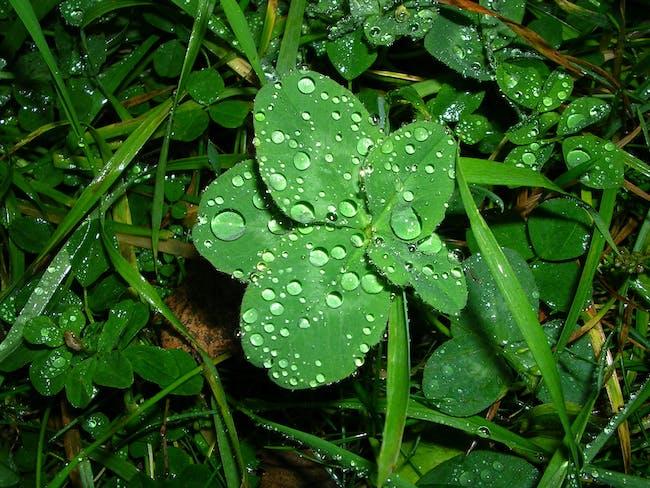 Five-leaf clover in the rain