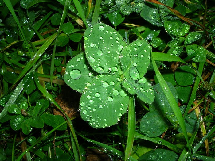 Five-leaf clover in the rain