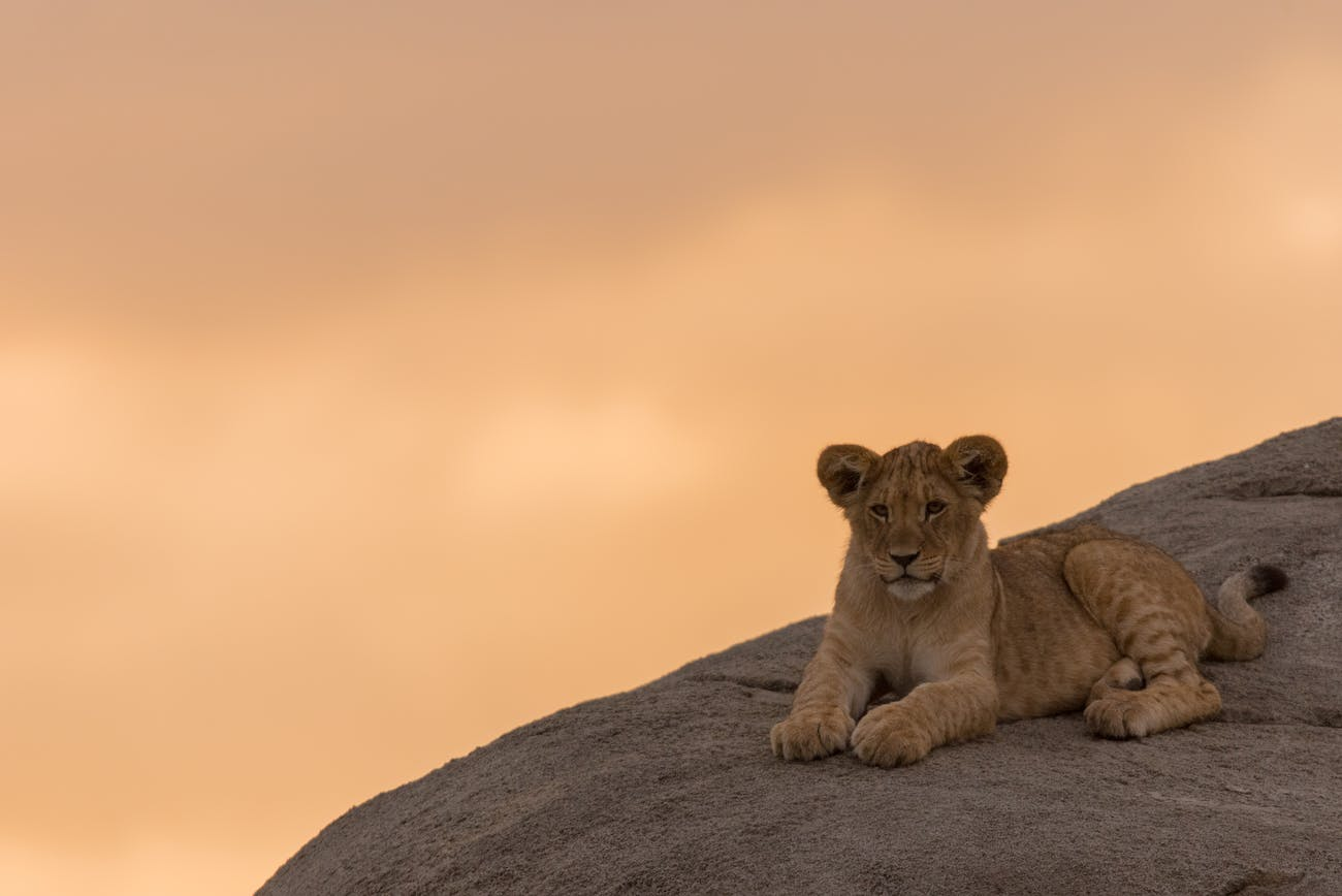 The Lion King': Even Science Agrees Scar Is Much Sexier Than Mufasa