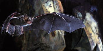 myotis myotis bats telomere longevity