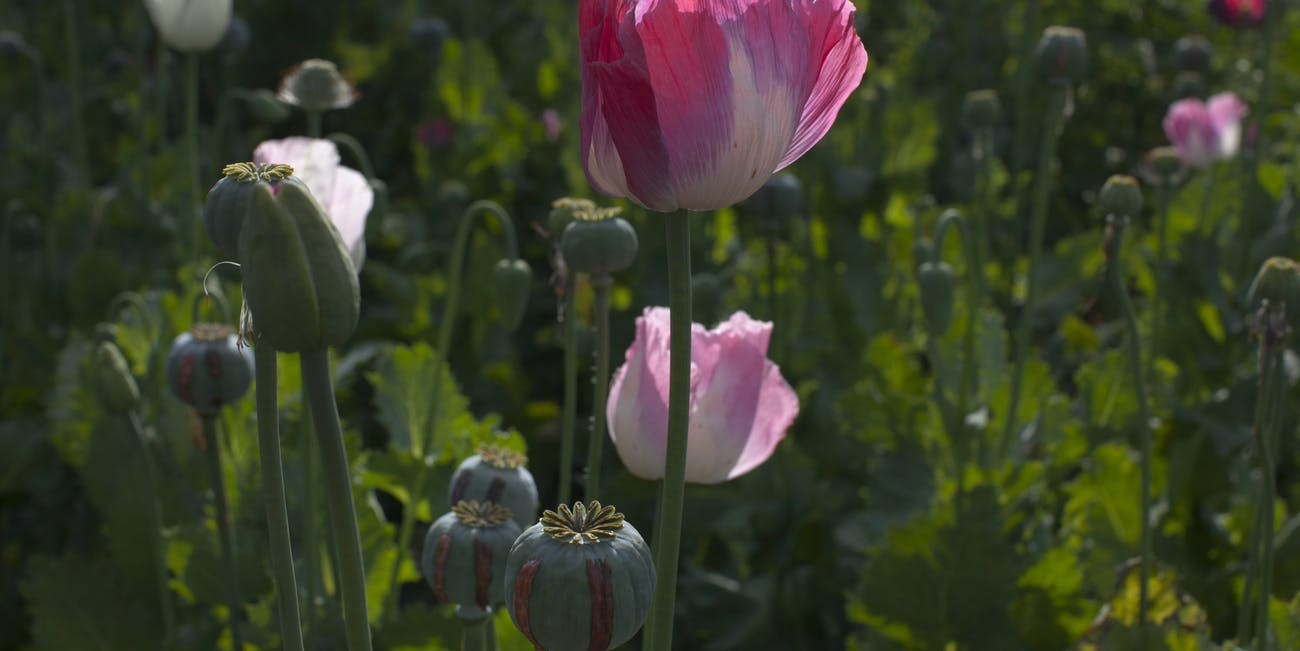 It's Legal to Grow Your Own Opium As Long As You Don't Know It | Inverse