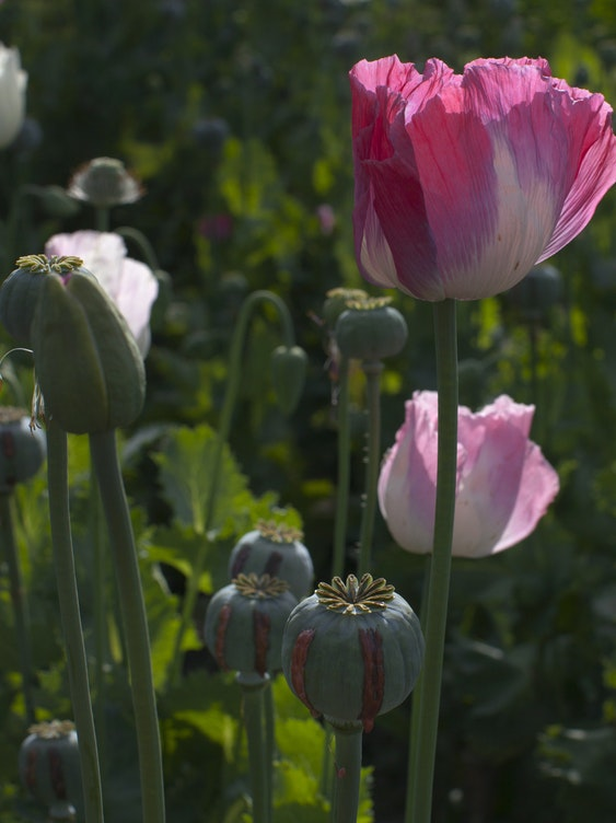 FAYZABAD, AFGHANISTAN - MAY 31:  The opium sap from the bulb of the poppy plant is seen in a flowering poppy field May 31, 2011 in Fayzabad, Badakhshan, Afghanistan.  According to the United Nations Office of Drugs and Crime (UNODC) the cultivation of poppies in the Badakhshan region has more than doubled this season. Opium production in Afghanistan, still the greatest illicit opium producer in the world, has been on the rise since U.S. occupation started in 2001, with more land now being used for opium than for coca cultivation in Latin America. Currently 1kg of opium equals about U.S. $200. This amounts to an export value of about $4 billion, with a quarter being earned by opium farmers and the rest going to district officials, insurgents, warlords, and drug traffickers.  (Photo by Paula Bronstein/Getty Images)