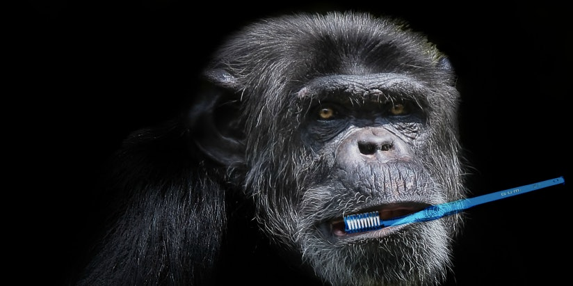 Chimps have been observed brushing the teeth of their dead, pointing to an origin for human mortuary rituals.