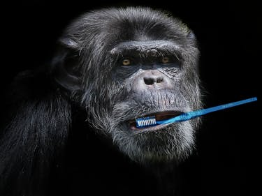Chimp Brushes Teeth of Dead Son, Shames Human Death Rituals