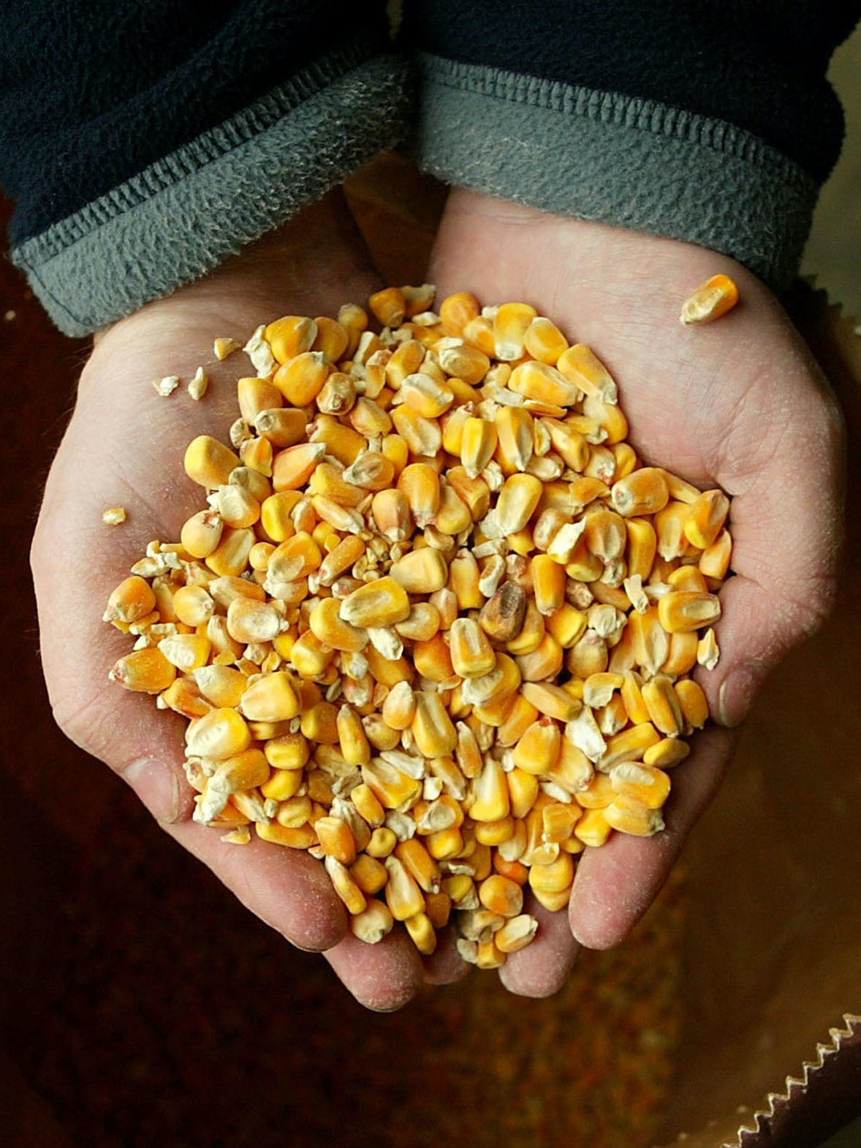 BISHOP'S STORTFORD, ENGLAND - MARCH 5 :  A handful of forage maize seed is seen on March 5, 2004 in Bishop's Stortford, England. British MPs from the Environmental Audit Committee have told the government that major new field tests should be done before any genetically modified crops are allowed to be grown commercially in Britain. (Photo by Scott Barbour/Getty Images) *** Local Caption ***
